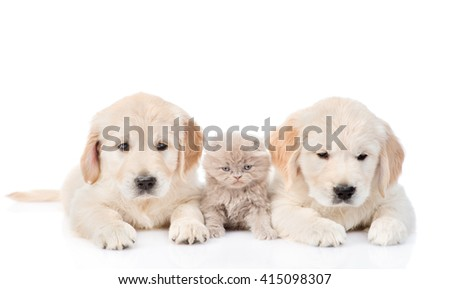 little kitten lies between two golden retriever puppies. isolated on white background