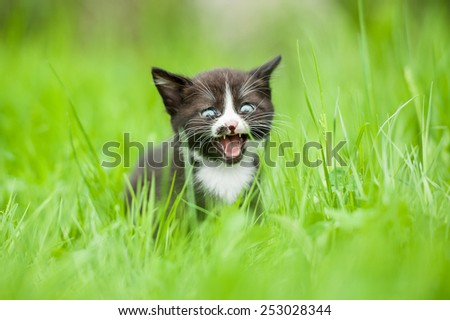 Little kitten meowing in the grass