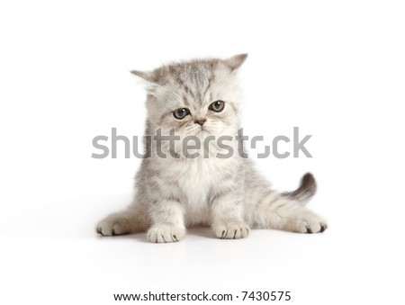 little kitten of grey and white colors - stock photo