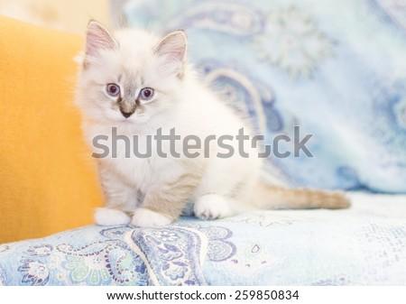 little kitten of siberian cat, white neva masquerade version - stock photo