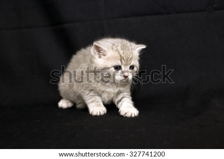Little kitten on a dark background, kitten British breed, a small kitten in drapery, pet, cute baby. - stock photo