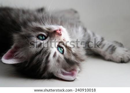 Little kitten on gray background - stock photo