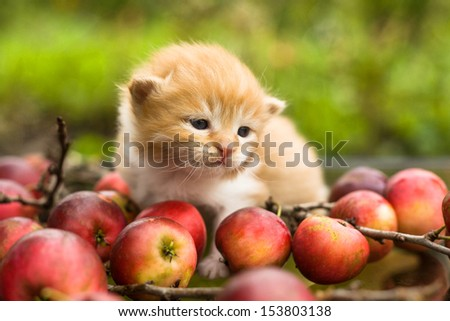 little kitten on the autumn apple background - stock photo