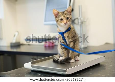 Little kitten on weight scale at the veterinarian - stock photo
