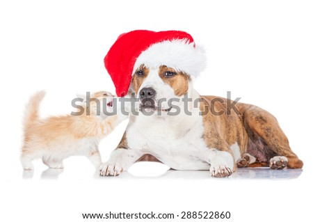 Little kitten playing with a santa hat dressed on american staffordshire terrier dog