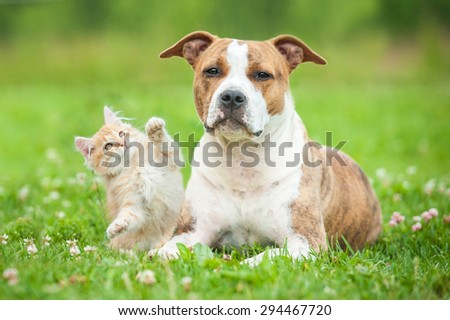 Little kitten playing with american staffordshire terrier dog