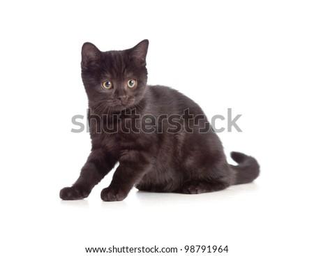 little kitten pure breed black british isolated - stock photo