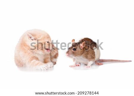 Little kitten scared of rat - stock photo