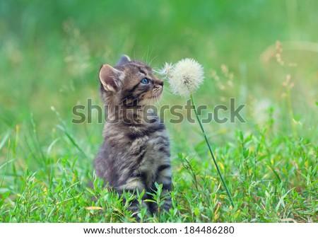 Little kitten sniffing  dandelion - stock photo