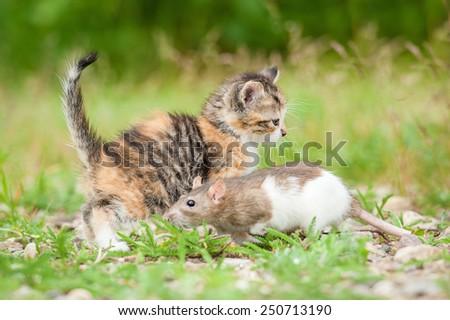 Little kitten with a rat on the walk - stock photo