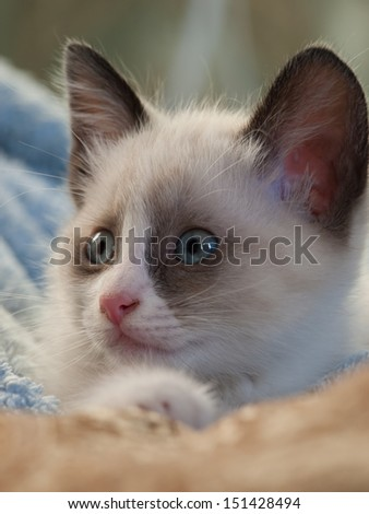 little kitten with blue eyes, breed Snowshoe - stock photo