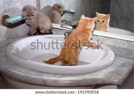 bengal cat running wheel