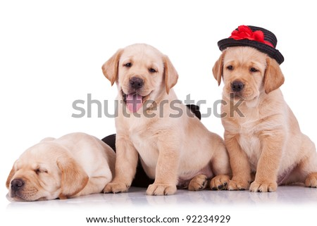 little labrador retriever puppies on white background, one with a hat on and looking at the camera - stock photo