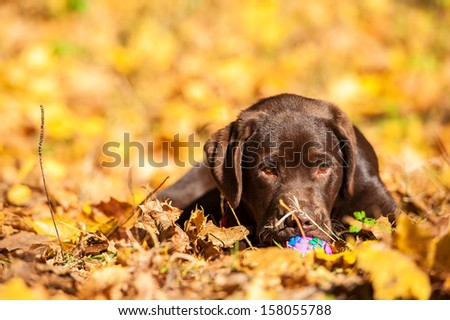 Little labrador retriever puppy playing with ball on the leaves in autumn