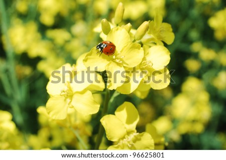 Little ladybug on a rapeseed flower in springtime. - stock photo