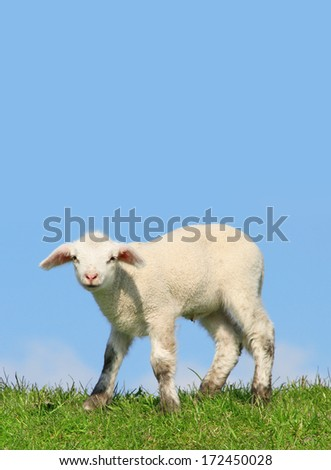 little lamb - stock photo