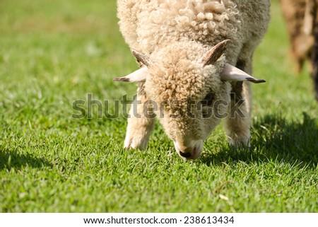 Little lamb grazing on the grass - stock photo