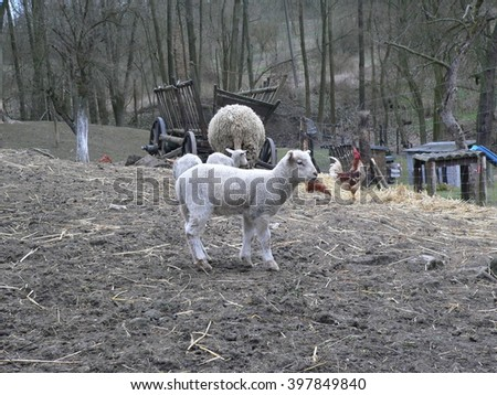 Little Lamb on a farm in the Czech Republic - stock photo