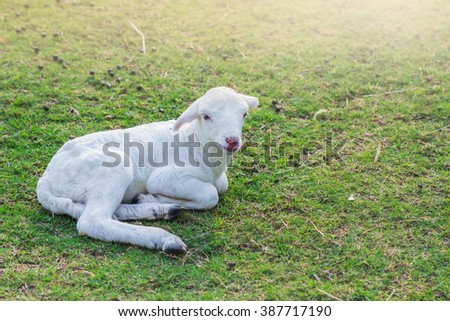 Little lamb was laid to rest in a farm field on the green grass. - stock photo