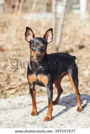 little long-eared dog shorthair black and brown colors are in the forest