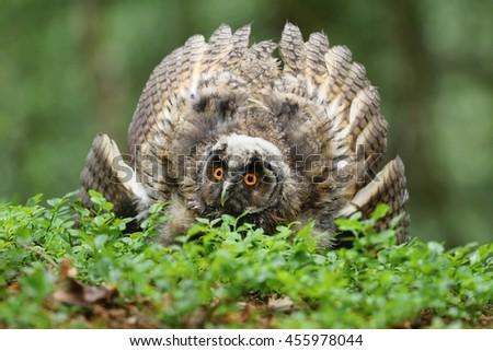 Little long eared owl - stock photo