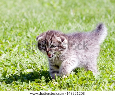 little lop-eared kitten meowing on the grass