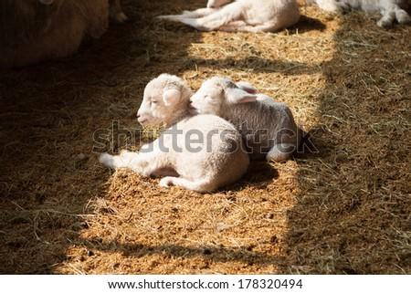 Little lovely baby sheep in sun shine.  - stock photo