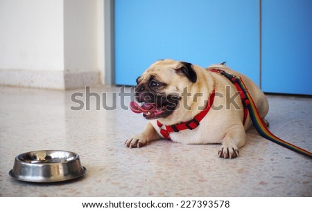little lovely cute happy white fat pug dog with leash laying on the clean smooth polished concrete floor with a food bowl in front of a blue door in pet hospital, animal clinic waiting for diagnosis.