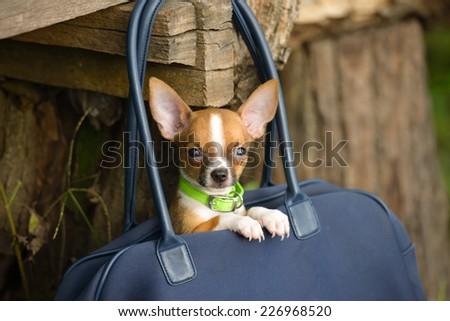 Little lovely dog in the dark blue bag of traveller - stock photo