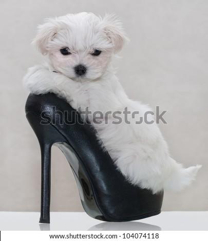 Little maltese puppy in the women's shoe - stock photo