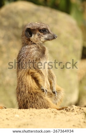Little meerkat - stock photo