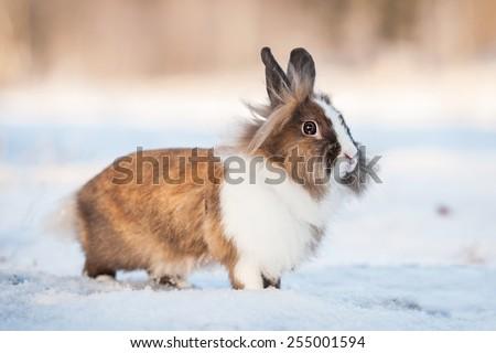 Little miniature rabbit walking outdoors in winter - stock photo