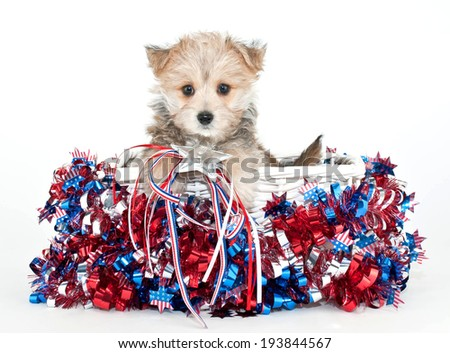 Little Morkie puppy sitting in a basket with red, white and blue stars and stripes all around him.