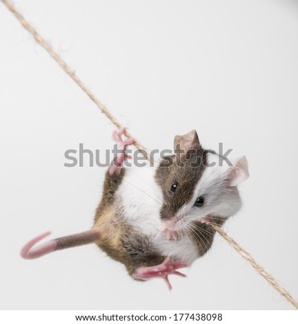 little mouse climbing on the rope - stock photo
