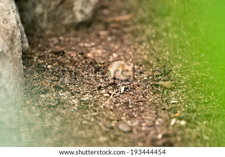 Little mouse in habitat  - stock photo