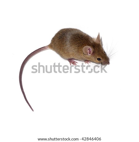 little mouse isolated