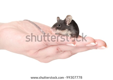 Little mouse sitting on hands. Macro shoot on a white background