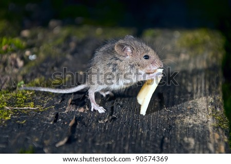 Little mouse with a slice of cheese on boards