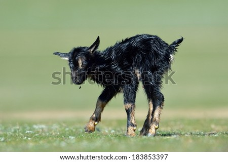 little new born baby goat on field in spring
