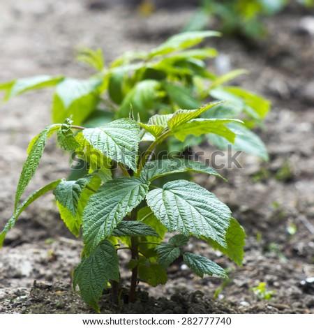 little new raspberry bush - stock photo