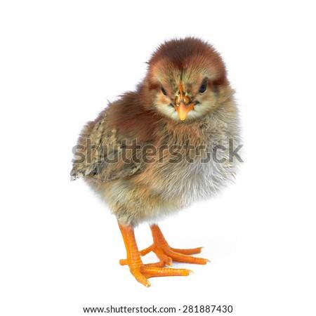 Little newborn baby chicken isolated on white - stock photo