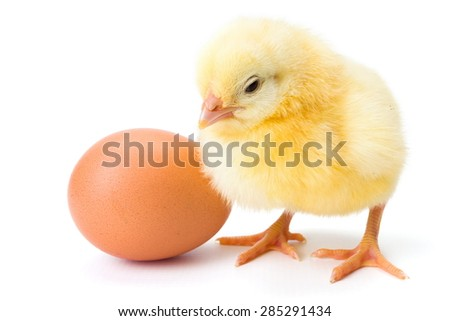 Little newborn yellow chicken standing near egg