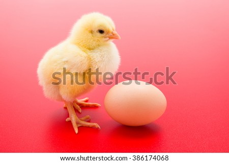 Little newborn yellow chicken with an egg on red background - stock photo