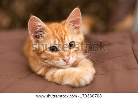Little orange kitten lie on the bed - stock photo