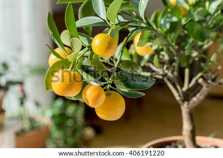 little orange tree in a pot / citrus trees / citrus