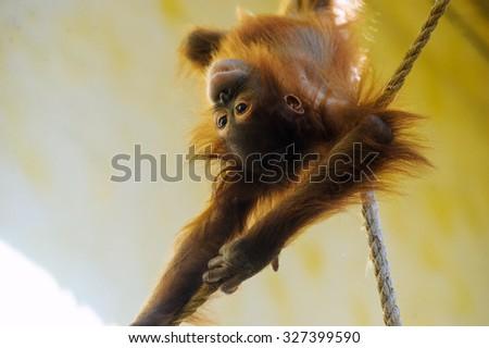 little orangutan - stock photo