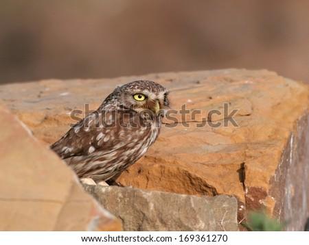 Little owl among rocks - stock photo