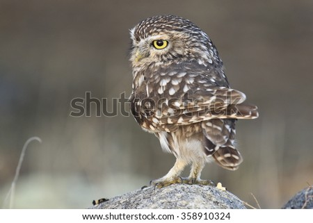 Little owl Athene noctua - stock photo