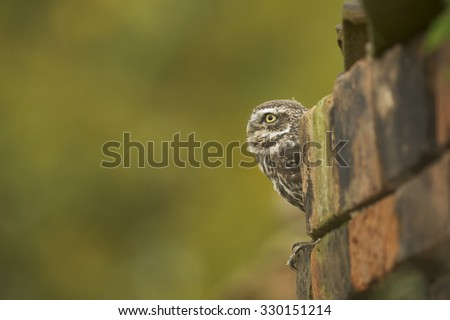 Little Owl (Athene noctua) in a old barn