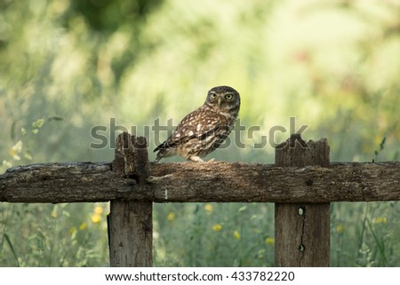 Little Owl - Athene noctua - Steenuil - Steinkauz - stock photo